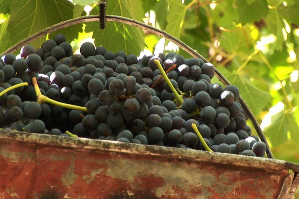 Dans un vignoble de Mendoza